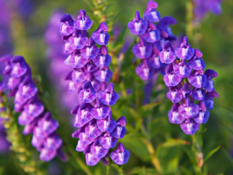 kwiat tarczycy bajkalskiej